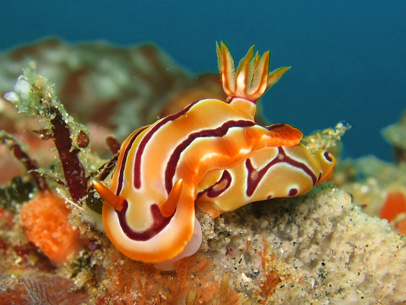 nudibranch-01