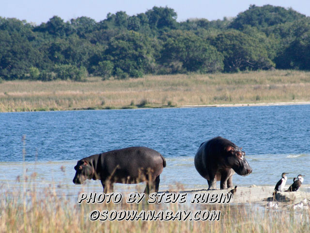 Hippos at Lake Sibaya