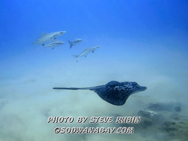 Stingray with Cobia