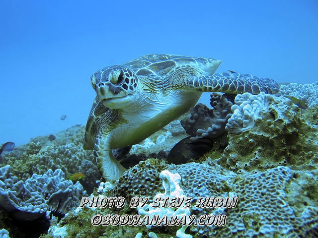 Turtle on Stringer Reef, Sodwana Bay