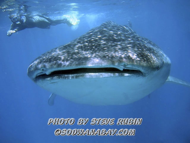 Whale Shark in Sodwana Bay