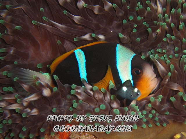 Domino and two bar anemone fish in an anemone